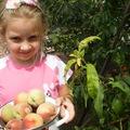 Подина собирает урожай персиков
